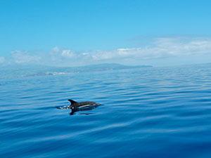Delfines en Azores